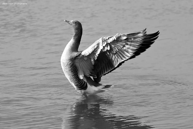 Greylag Goose, Waters Edge Nature Reserve - Barton upon Humber