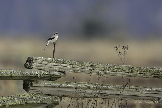 Happy Fence Friday (HFF)- Northern Shrike Style