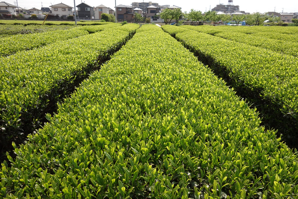 Japanese tea farm in Sayama | Sayama city, Saitama is renown… | Flickr