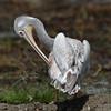 Pink-backed Pelican (Pelecanus rufescens) Lake Nakuru, Kenya 2013 by Ricardo Bitran