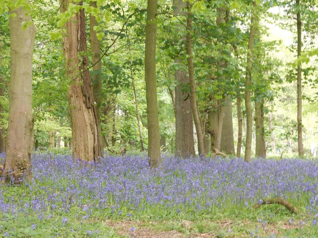 Bluebells near monument 1 Tring to Berkhamsted