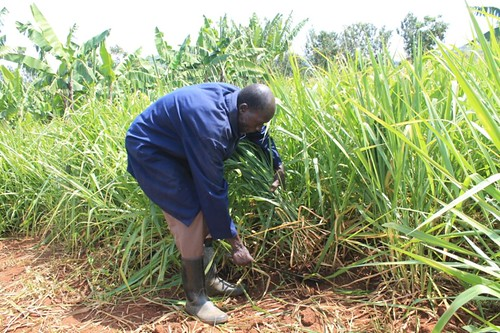 VBDA Stephen Nyamisi harvesting brachiaria (basilisk variety) from his quarter acre plot during February 2017 to feed his cow. The improved fodder survived the pro-longed dry season. | by International Livestock Research Institute