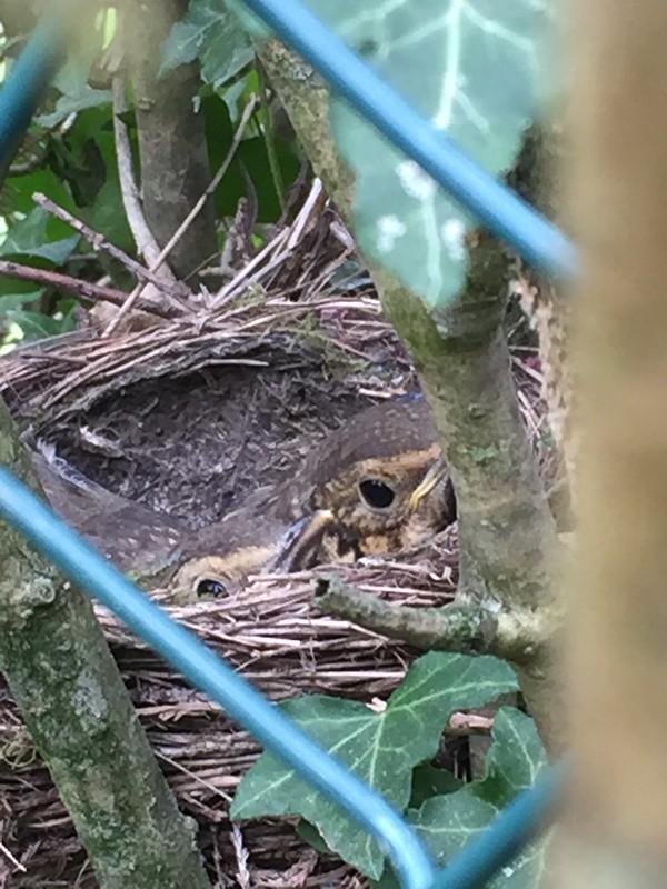 Thrush nest April 2017