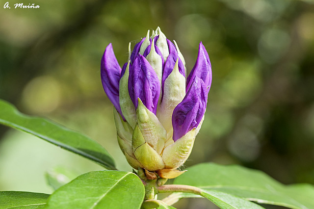 Soon it will be a flower of Rhododendron.