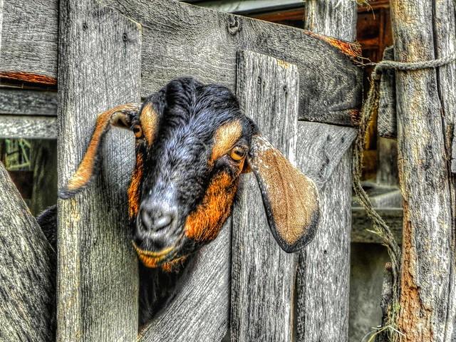 Renaissance Goat Head