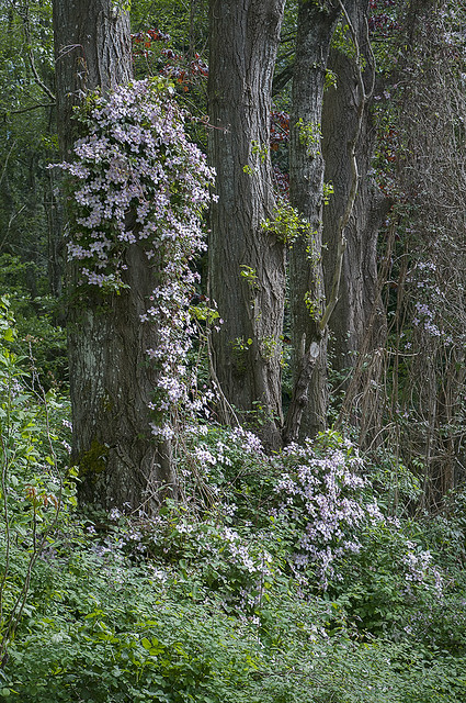 Early Clematis - Darts Hill Garden