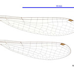Austroagrion exclamationis male wings