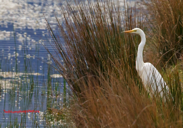Great white egret surveys the scene 27-03-2017
