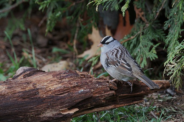 *** White-crowned sparrow / bruant à couronne blanche
