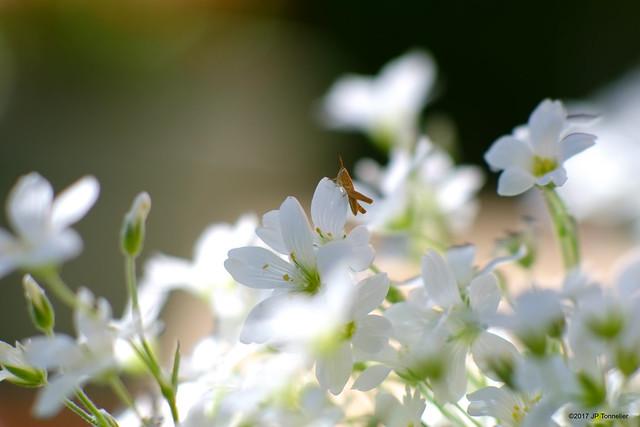 Mini sauterelle