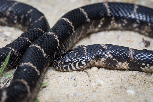 Eastern Kingsnake (Lampropeltis getula getula) | by Zachary Cava