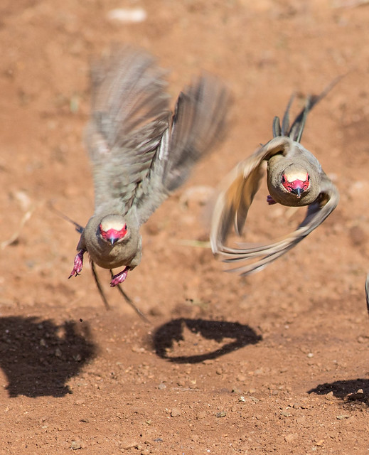 Flying redfaced-mousebird (Urocolius Indicus), Pilanesberg, South Africa