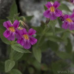 Lewis Monkeyflower