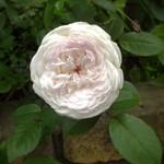 かすかに赤みを帯びた白が美しい 紅茶のような香り #クロチルドスーペール #clothildesoupert #rose #polyantha #rose #whiterose #flowers #garden #earlysummer #バラ #薔薇 #白薔薇 #ポリアンサ #庭 #花 #5月 #初夏