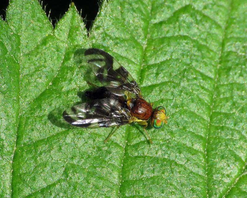 Euleia heraclei