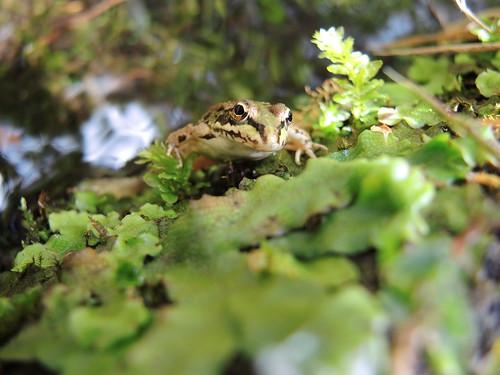 Frosch in der Levada do Rocha Vermelha   by m.prinke