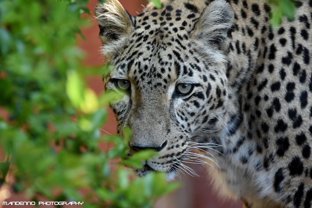 North persian leopard - Zoo Amneville
