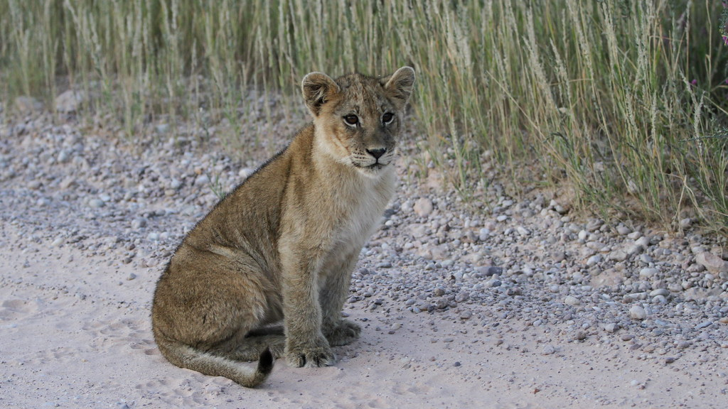 African lion, Panthera leo at Kgalagadi Transfrontier Park, Northern Cape, South Africa