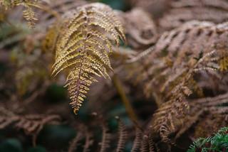 Autumn Fern | by Hattifnattar