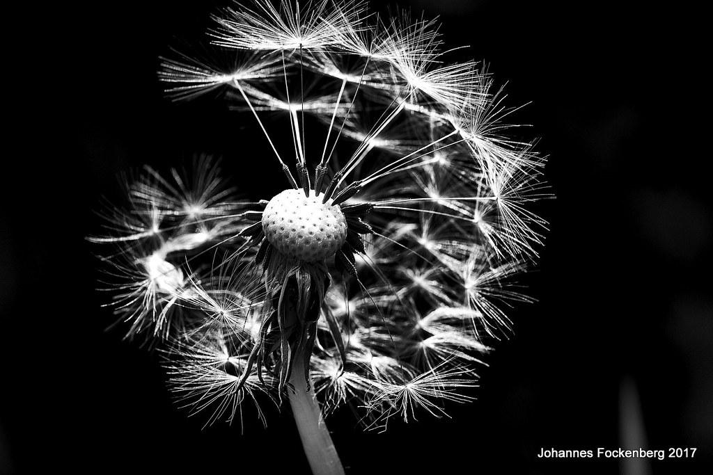 Pusteblume schwarz weiss | Johannes Fockenberg | Flickr