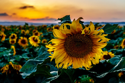 flowers sunset flower nature landscape israel sunflowers sunflower
