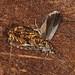 Flickr photo 'Cherry-bark Moth, Enarmonia formosana' by: Jamie McMillan.