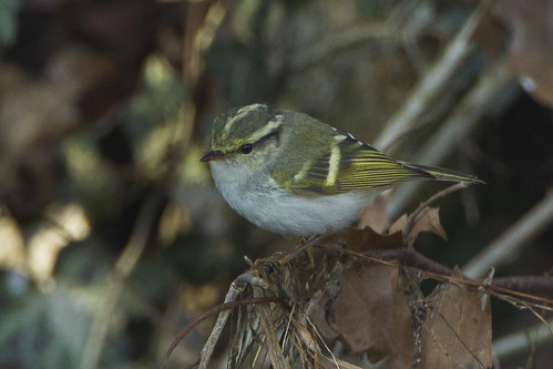 Pallas's Leaf-Warbler - great rarity in Italy_S4E1751 | by fveronesi1