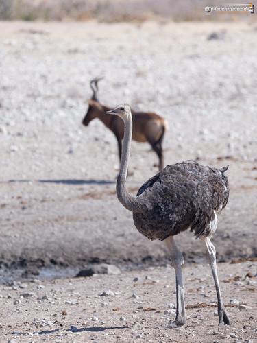 3x4 africa afrika afrikanischerstraus etoshanationalpark laufvögel namibia strause struthio struthiocamelus struthioniformes commonostrich omusatiregion