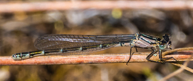 damsel fly 2 (1 of 1)