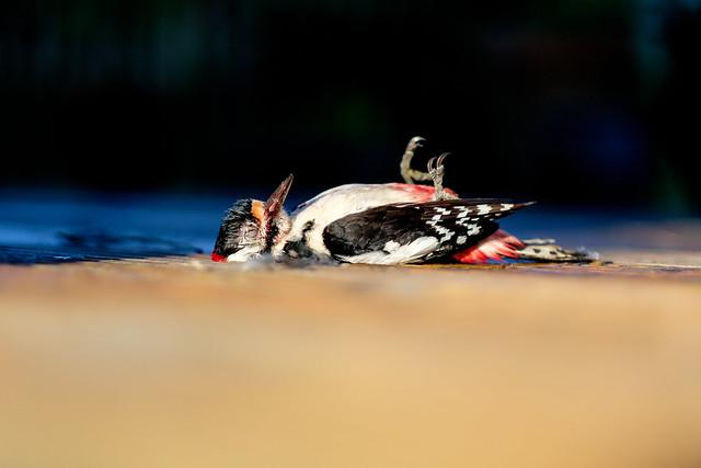 The Dead Woodpecker - DSCF3674