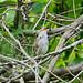 ウグイス(Japanese bush warbler)