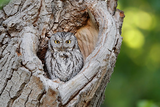 Western screech Owl at Home - Arizona | by HFBC Photography
