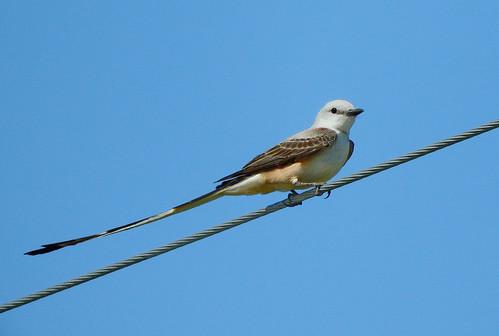 --Flycatcher-Scissor-tailed-OK-DSCN8814 | by Tricolor Brian
