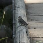 Thrush (fledgeling)