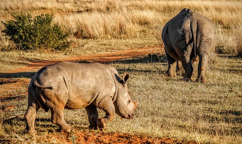 White Rhino Calf - Limpopo, South Africa | by FyreMael