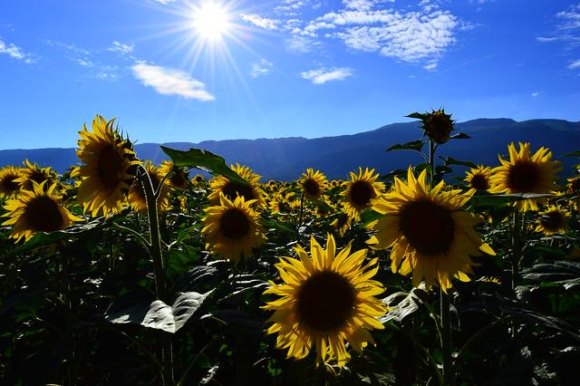 Sonnenblumenfeld in Dardagny