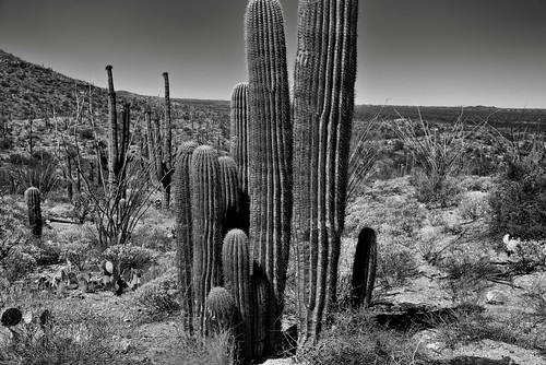 nikond800e saguaronationalpark saguaronationalparkrinconmountaindistricteast day2 lookingsw blackwhite silverefexpro2 capturenx2edited colorefexpro desert desertlandscape sonorandesert saguaro cactus carnegieagigantea saguarocactus arborescenttreelikecactus cactusacrossdesertlandscape desertplantlife outside nature sunny blueskies landscape mountains mountainsindistance mountainsoffindistance hillsides engelmanspricklypearcactus opuntiaengelmannii garwoodtrail intermountainwest southwestbasinsandranges southeastarizonaranges huachucaarea rinconmountains cactusflowers cactusflowersontop groveofcactus groveofsaguarocactus portfolio project365 arizona unitedstates
