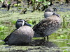 Blue-winged teal (Anas discors) by Gerald (Wayne) Prout
