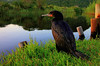 phalacrocorax capensis... by tdwrsa