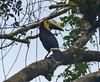 Tucán del Pacífico, Choco Toucan (Ramphastos brevis)