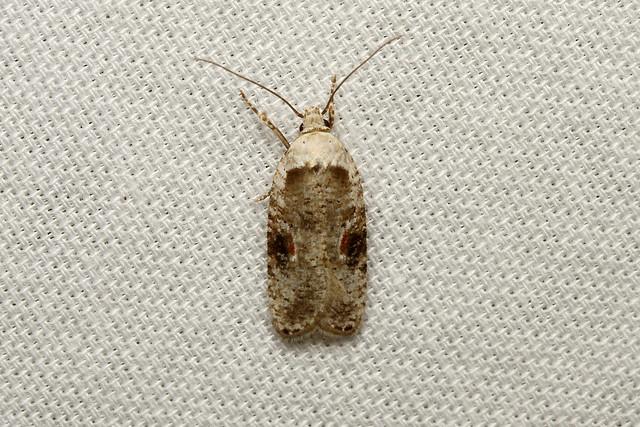 Agonopterix alstroemeriana (Poison Hemlock Moth) - Hodges # 0874.1
