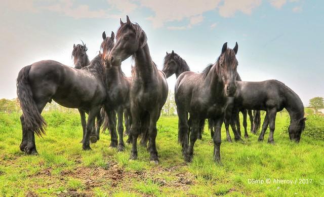 Horses ,Groningen,the Netherlands,Europe