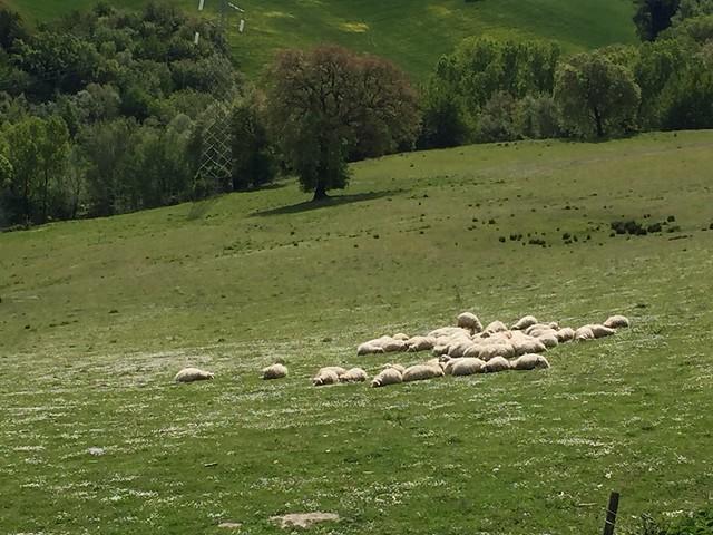 Il gregge addormentato - The flock asleep