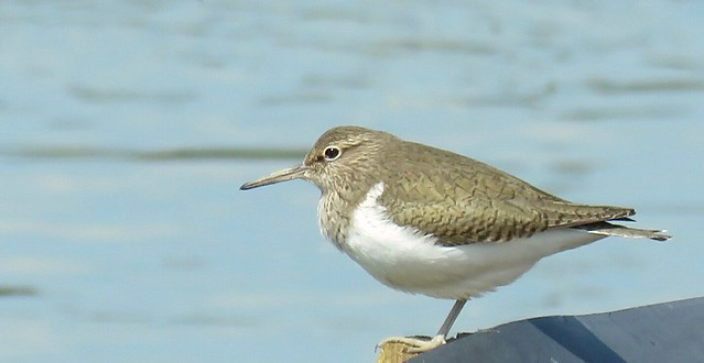Common Sandpiper surveys lost habitat.