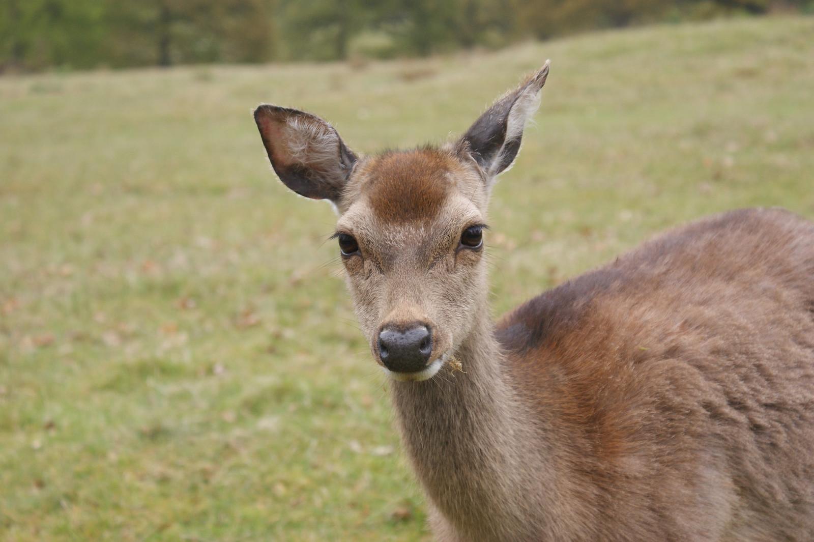 Knole Park Deer SONY DSC