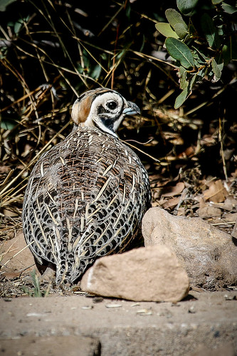 Montezuma Quail (Cyrtonyx montezumae) | by Photo Patty