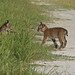 Flickr photo 'Bobcats (Lynx rufus)' by: Mary Keim.