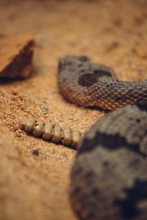 rattlesnake | by rachelakelso