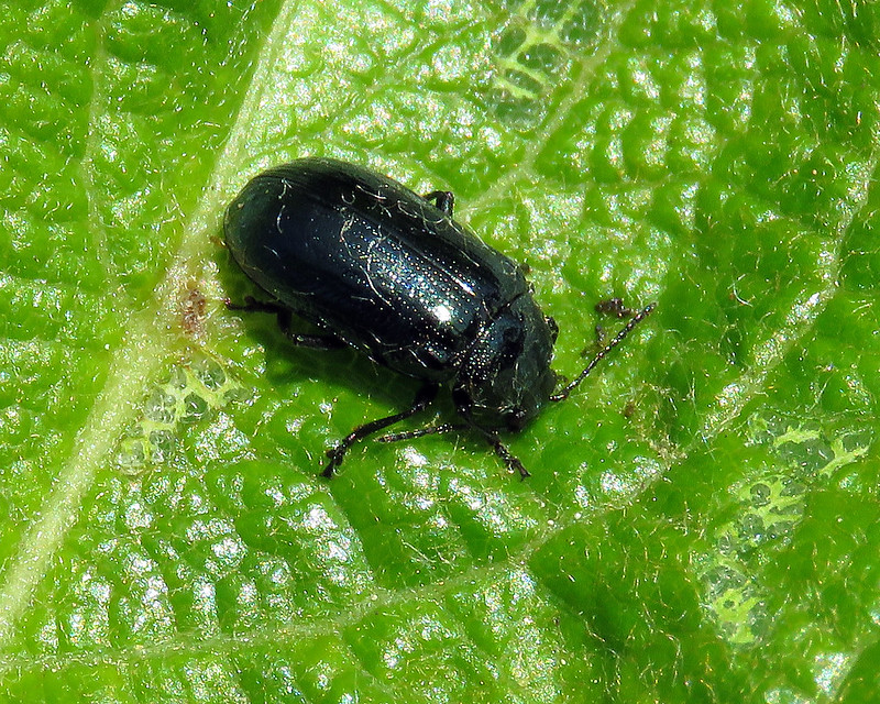 Blue Willow Beetle - Phratora vulgatissima