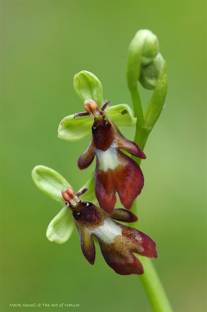 Kentish Fly Orchids - Ophrys insectifera